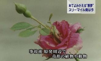 スリーマイル奇形バラ.jpg